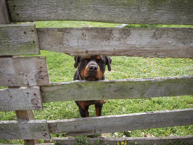 Der Rottweiler Baro schaut durch den Zaun vom Hundeplatz im Tierheim Wurzen.