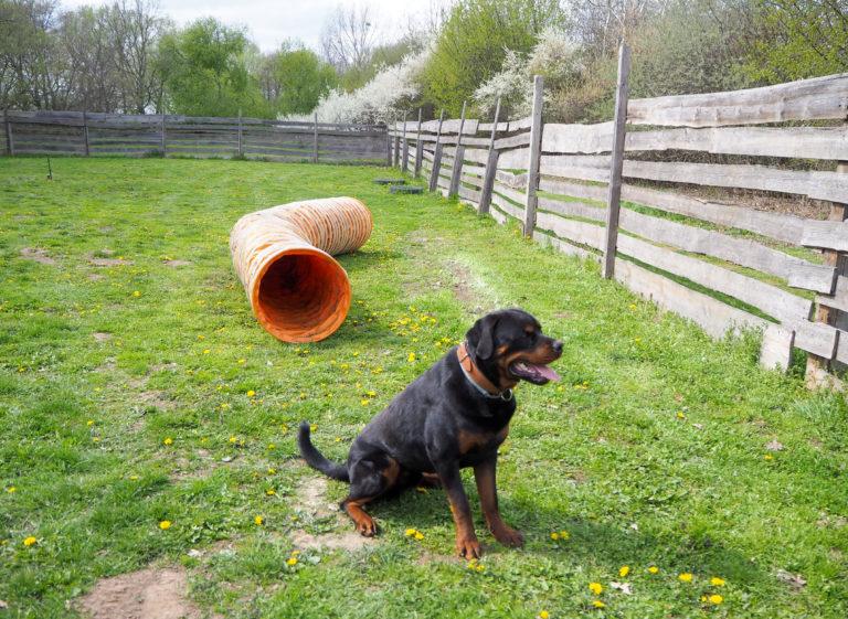 Der Rottweiler Baro sitzt auf dem Hundeplatz im Tierheim Wurzen.