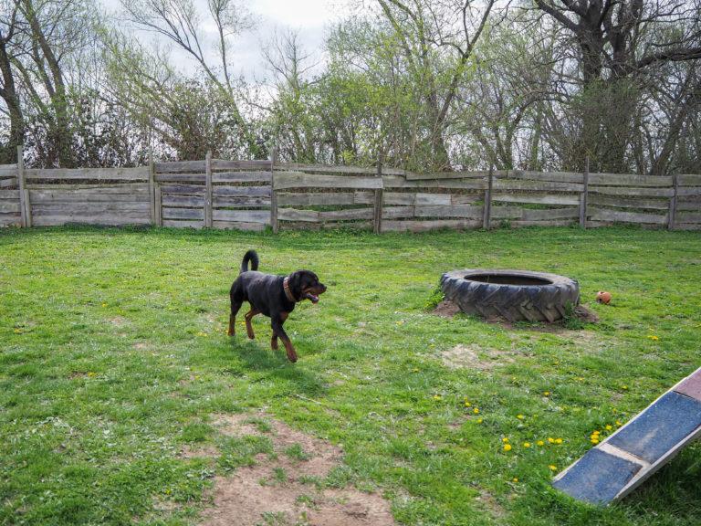 Der Rottweiler Baro läuft über den Hundeplatz im Tierheim Wurzen.