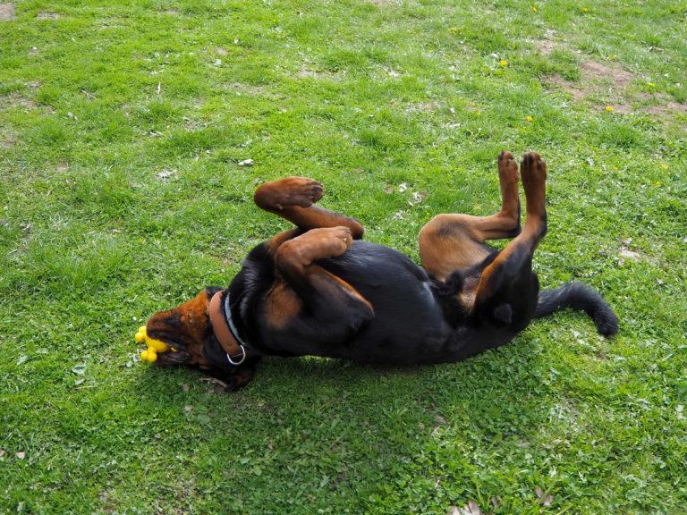 Der Rottweiler Baro liegt auf dem Rücken mit einem Spielzeug im Maul auf dem Hundeplatz im Tierheim Wurzen.