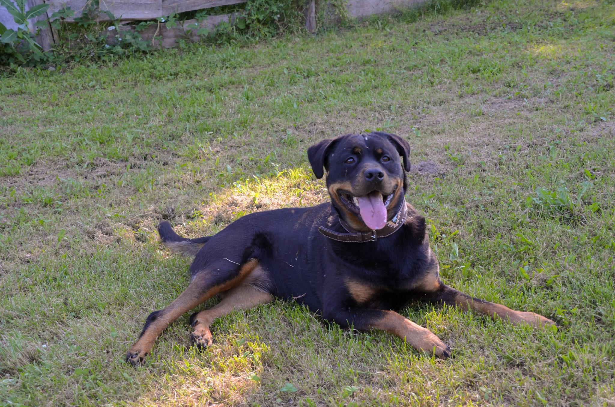 Die Rottweiler Hündin Heidi liegt auf dem Hundeplatz im Tierheim Wurzen.