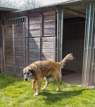 Kangal-Mischling Bolle spaziert aus seiner Hütte.