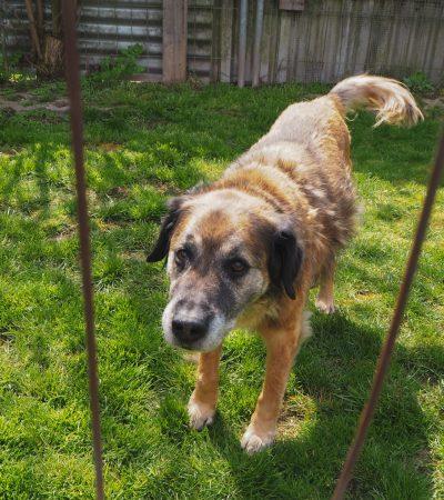 Kangal-Mischling Bolle schaut mit seinem Hundeblick durch den Zaun seines Zwingers.