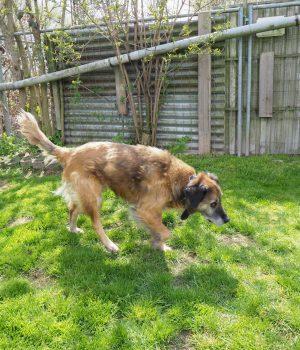 Kangal-Mischling Bolle läuft über die Wiese in seinem Zwinger.
