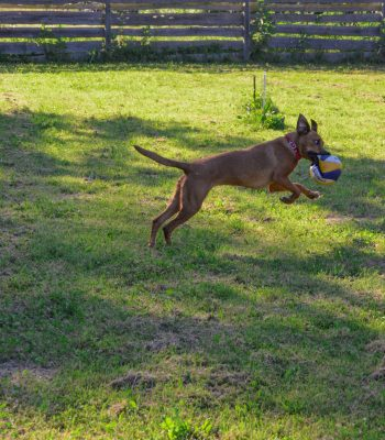 Lissi tobt mit einem Ball im Maul über den Hundeplatz im Tierheim Wurzen.