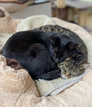 Zwei Katzen liegen zusammen in einem Bett und kuscheln.