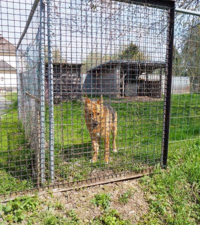 Der Deutsche Schäferhund Rex in seinem Zwinger.