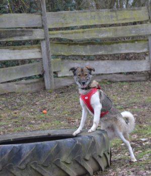 Suma steht mit ihren Vorderbeinen auf einem Reifen auf dem Hundeplatz im Tierheim Wurzen.